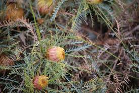 Photo: One of the many Banksia species recorded.