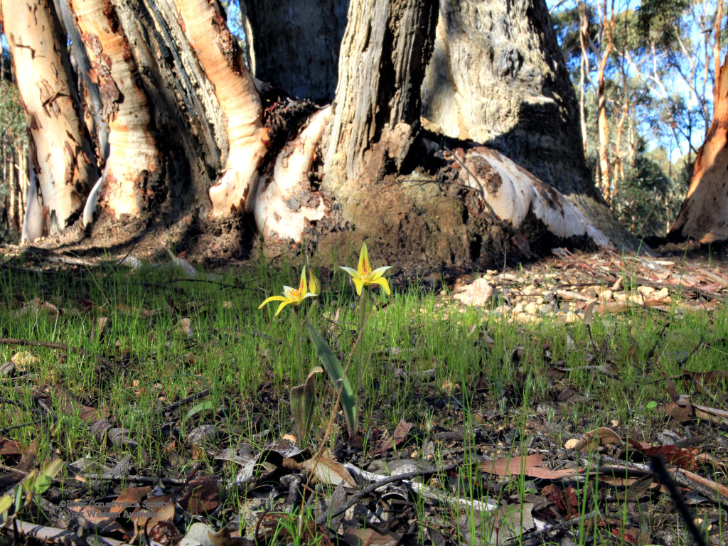 Yellow cowslip orchids amongst green grass, tree trunk in background