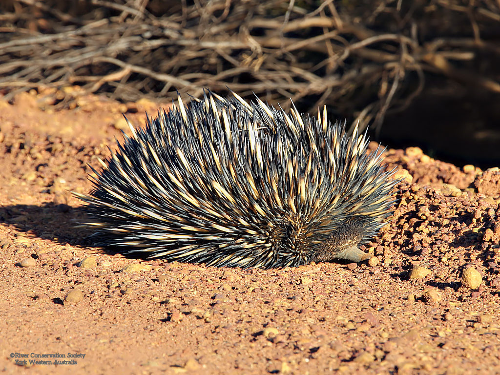 Echidna with beak in gravel