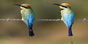 Photo:  two colourful birds, rainbow bee eaters