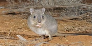 Photo:  small marsupial, Woylie