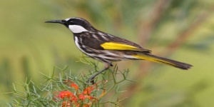 Photo: bird White cheeked honeyeater