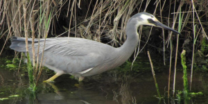 Photo: water bird white faced heron