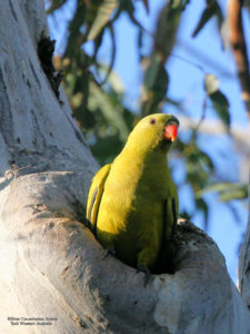 Brilliant yellow Regent parrot with orange beak emerging from nest hollow in tree