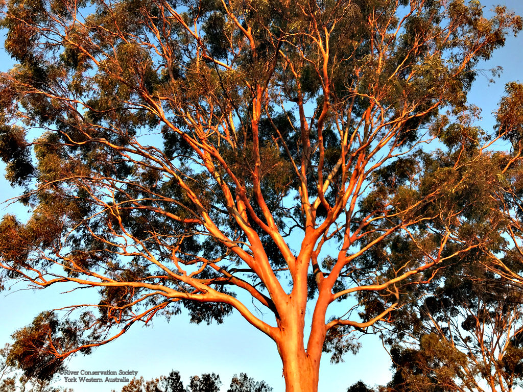 Salmon gum at sunset