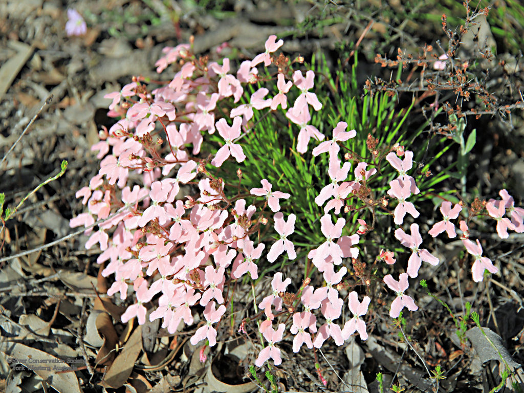 Moth triggerplant, pale pink flowers