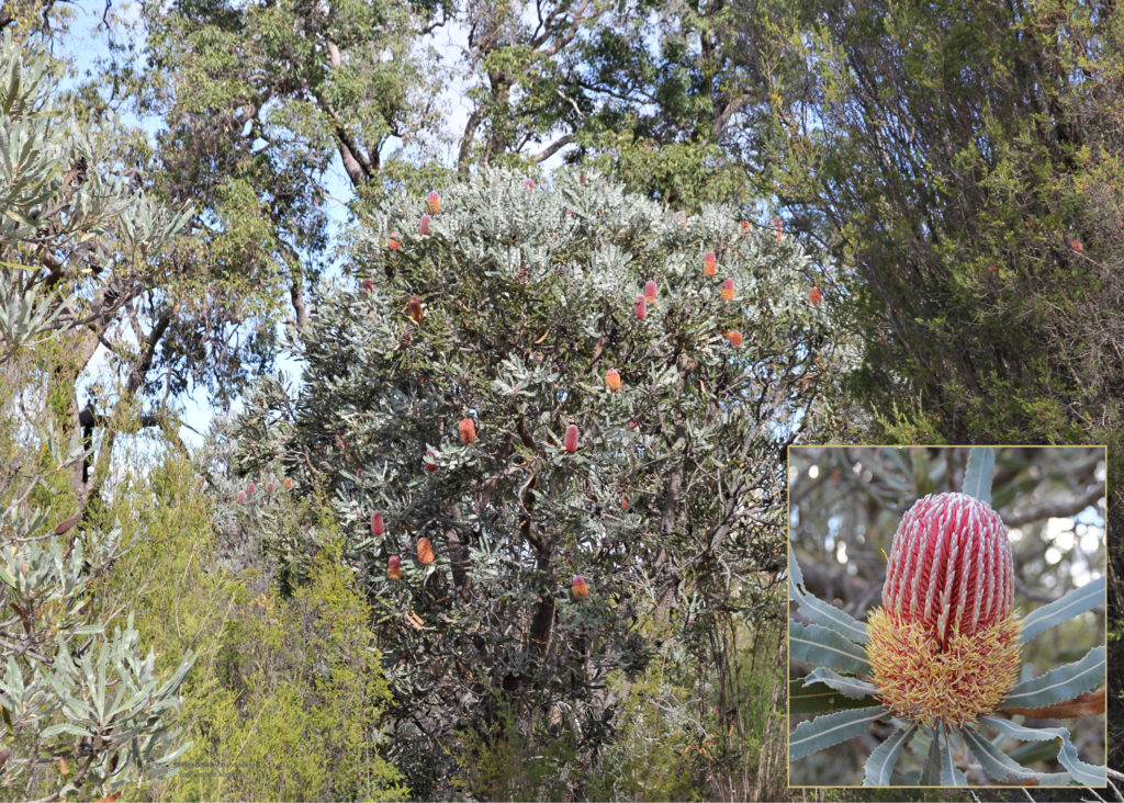 Photo: Banksia menziesii, Firewood Banksia, tree and flower