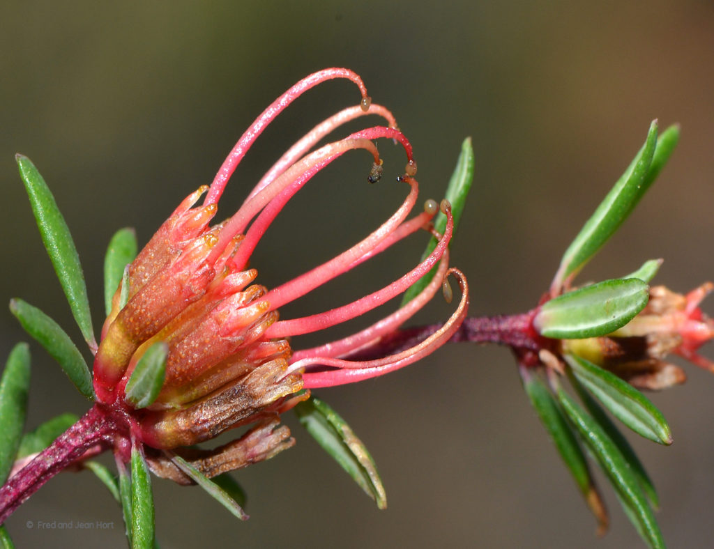 Photo: Darwinia thymoides subsp. St Ronans. Photographer Fred and Jean Hort