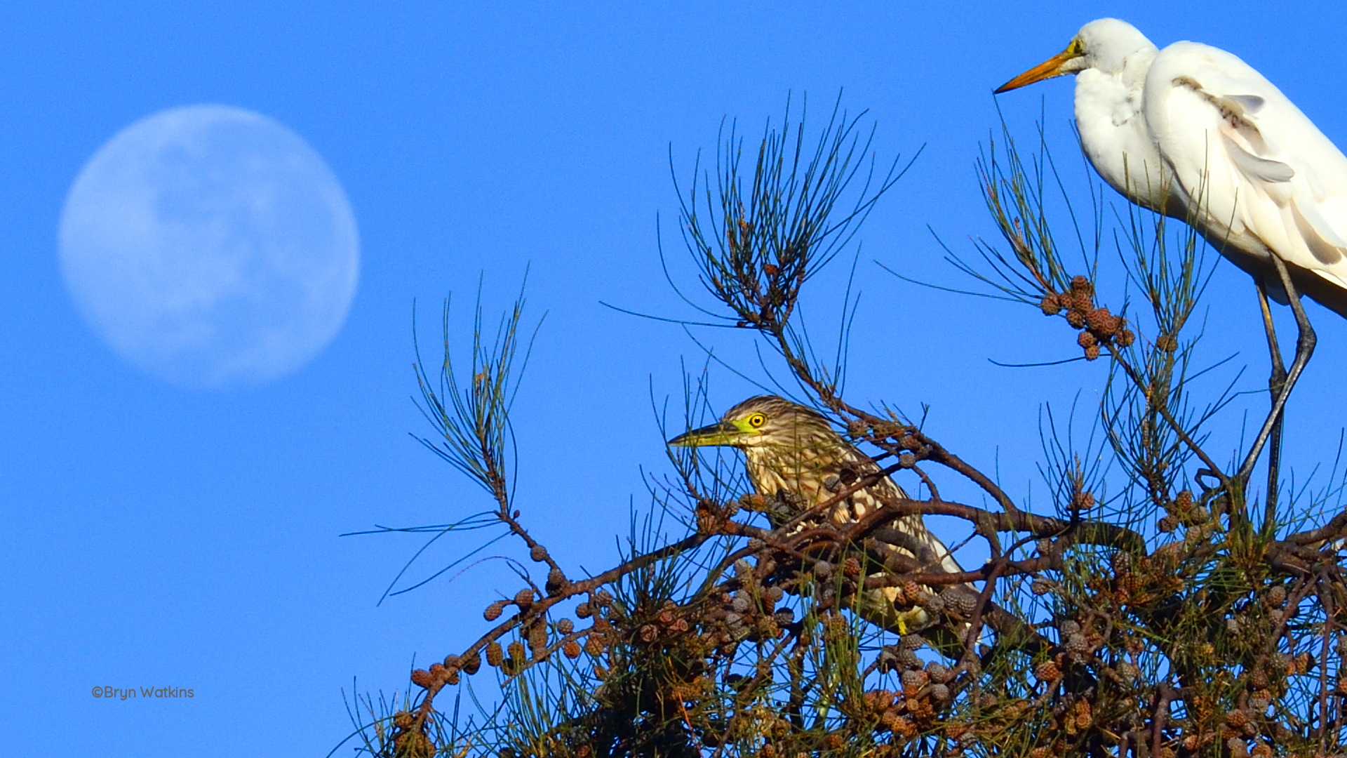 photographer Brin Watkins, birds roosting in a tree,  juvenile nankeen night heron with eastern great egret, full moon in background