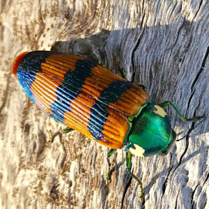 A green headed, orange and black striped Jewel Beetle sits on a dead tree branch.