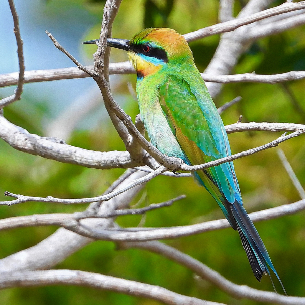 Rainbow Bee-eater (Merops ornatus) sits in a bare branched tree.
